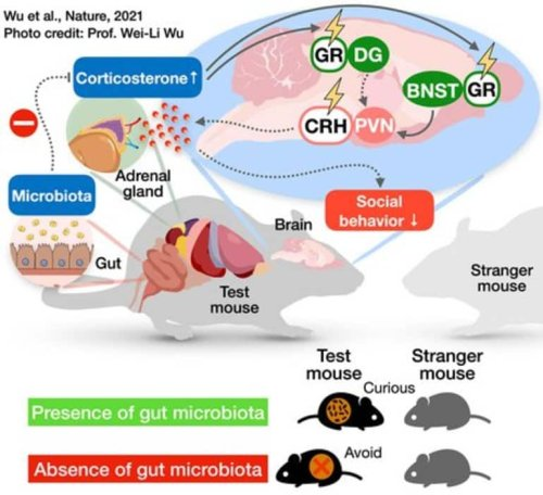 Gut Microbiome Affects a Specific Set of Neurons Responsible For Proper Social Function