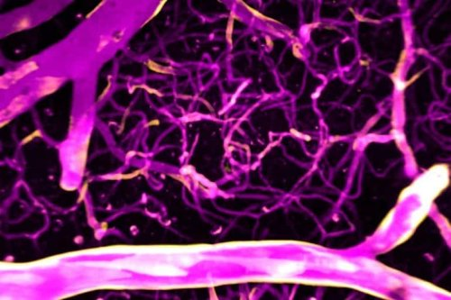 Calcium Precisely Directs Blood Flow in the Brain