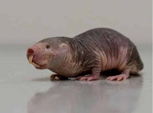 Could Naked Mole Rats Hold Key to Curing Cancer and Dementia? - Neuroscience News