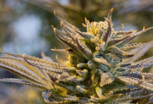 Cannabis Terpenes Provide Pain Relief and Contribute to 'Entourage Effect'
