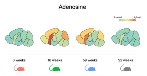 A Map of Mouse Brain Metabolism in Aging - Neuroscience News