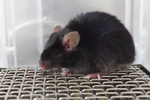 Melatonin in Mice: There's More to This Hormone Than Sleep - Neuroscience News