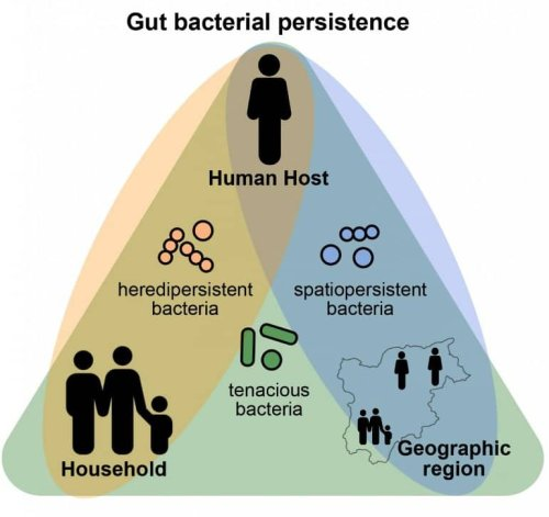 Persistence Pays off in the Human Gut Microbiome