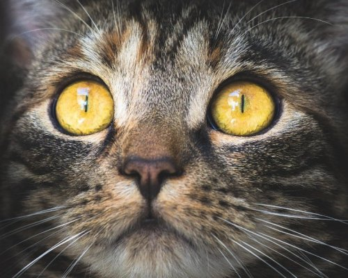 Psychosis Risk Linked to Cats - Neuroscience News