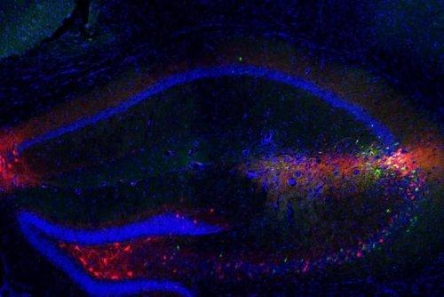 Serotonin Stabilizes Social Memories - Neuroscience News