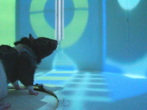 VR Experiment With Rats Offers New Insights About How Neurons Enable Learning - Neuroscience News