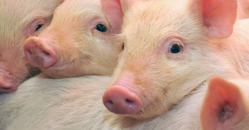 Brain function partially restored in pigs – four hours after death