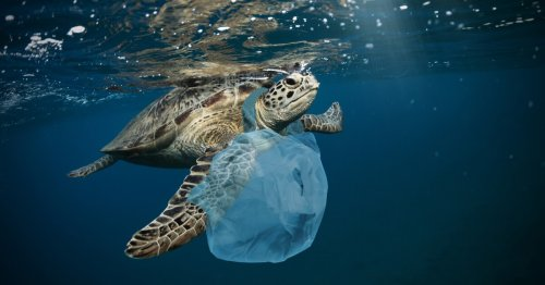 """Plastic pollution is laying """"evolutionary traps"""" for developing turtles"""