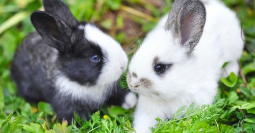 Scientists find a reason rabbits aren't as big as a horse