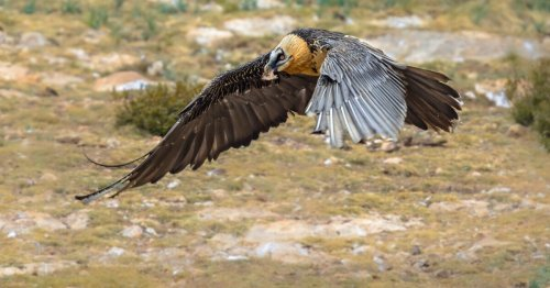 Vulture said to be first bird to receive a permanent artificial foot