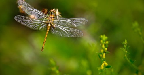 Dragonfly brains could make missile defenses faster and more accurate