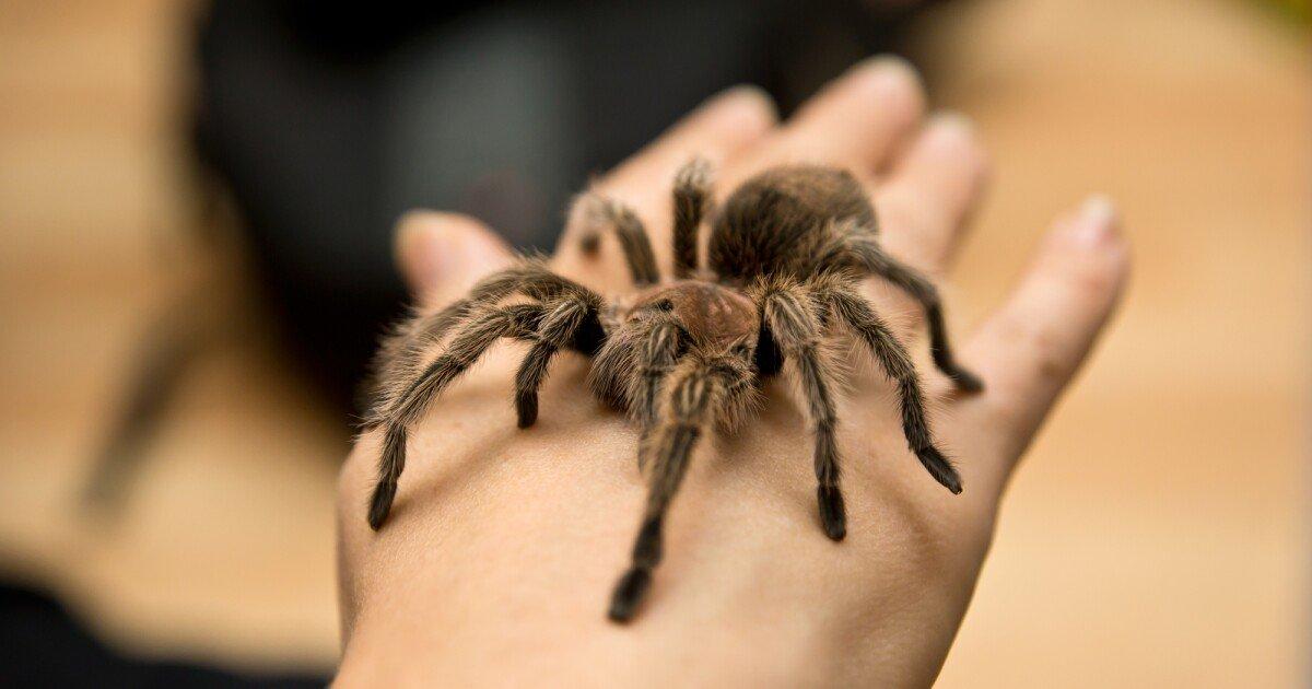 Study of tarantula toxin opens door to next-gen drugs for chronic pain