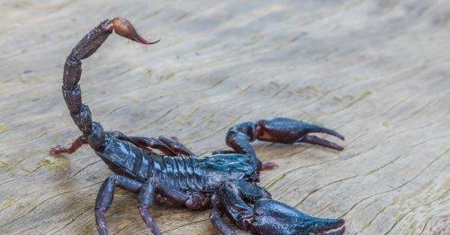 Scorpion venom protein reverses inflammation in rats with arthritis