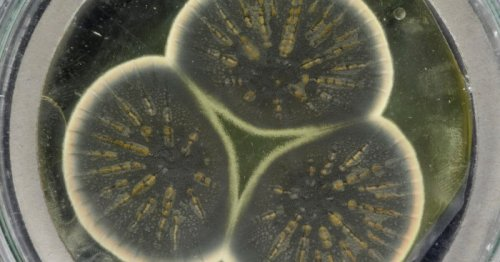 Original penicillin mold genome sequenced for the first time