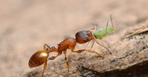 """Parasite grants ants """"eternal youth"""" – but there's a dark side"""
