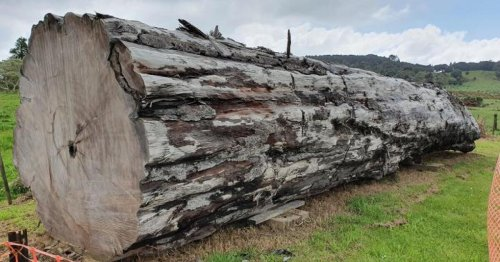 Ancient tree tells chaotic tale of Earth's magnetic field reversal
