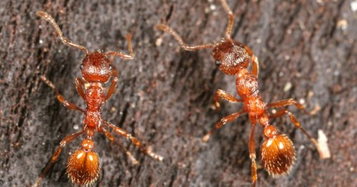 Fire ant chemicals may find use as eco-friendly spider deterrent