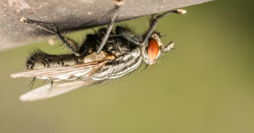Cheap, reusable adhesive is inspired by the footpads of flies