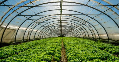 Transparent solar cells don't steal light from greenhouse crops