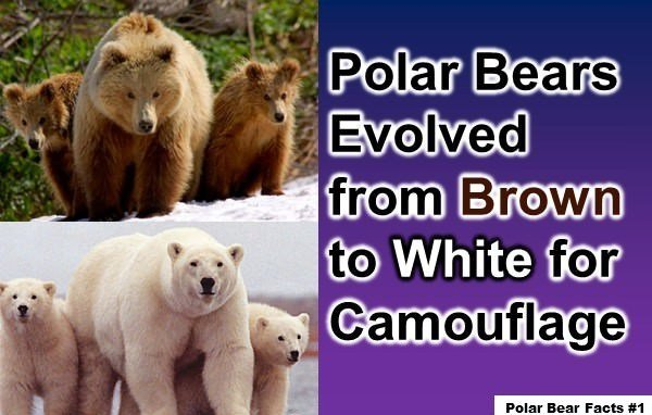 10 Interesting Facts about Polar Bears You Might Not Know