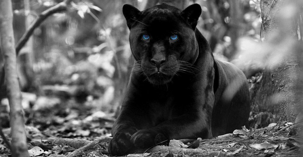 26 Amazing Facts about Panthers You Might Not Know