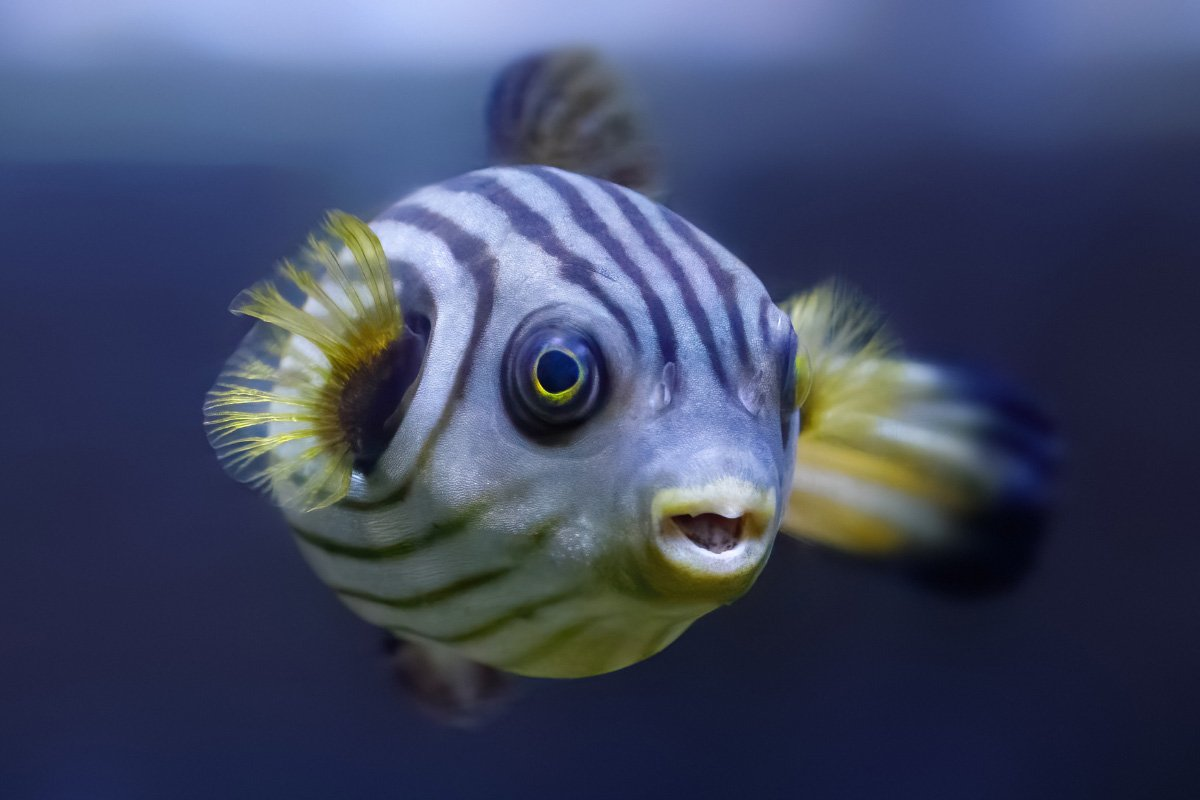 27 Facts about the Puffer Fish You Might Not Know