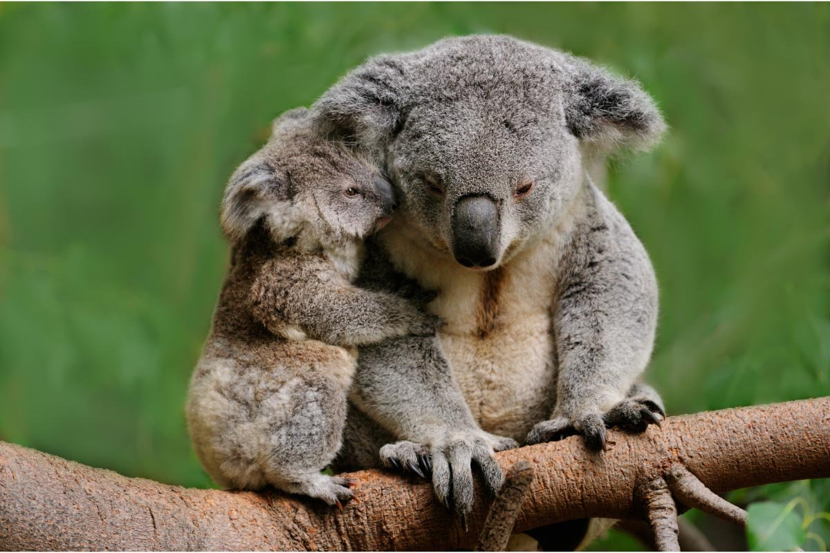 19 Facts about Koalas you Might not Know