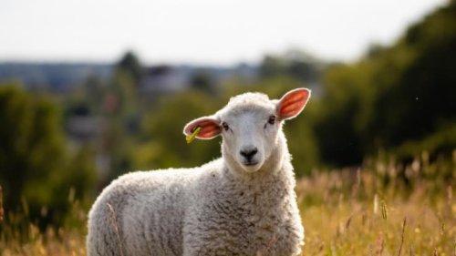 Mutanten-Schaf in Australien: Bein wächst aus dem Kopf! Mutiertes Lamm mit fünf Beinen geboren