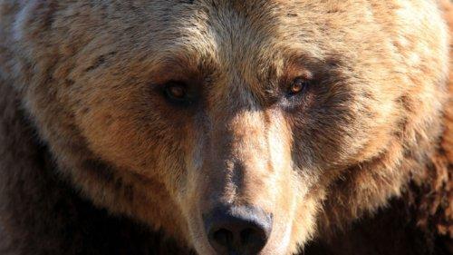 Tödliche Bären-Attacke: Tourist (42) auf Campingplatz verschlungen! Bär hingerichtet