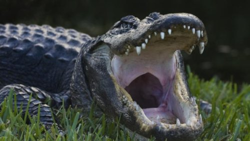 Kroko-Angriff: Völlig lebensmüde! Oma (74) attackiert Alligator, der ihren Liebling zerfleischt