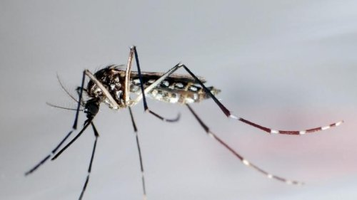 Mutierte Mücken in Florida: Einheimische entsetzt! Mutanten-Blutsauger ausgesetzt