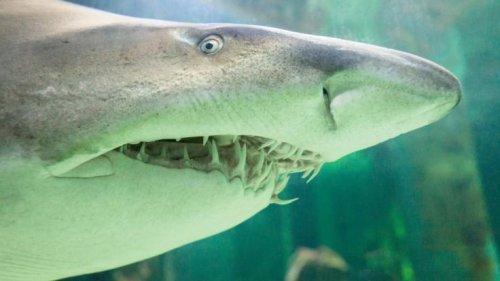 Hai-Angriff in Thailand: Blutiges Drama! Bullenhai zerfleischt Pfleger im Wasser