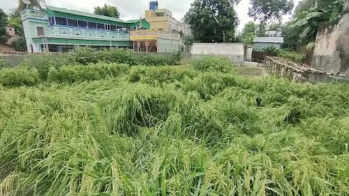 West Bengal Couple Grows Paddy in Garden Without Using Pesticide and Fertilizers