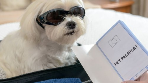 Dog Owner Books Entire Air India Business Cabin for Pet to Travel in Style