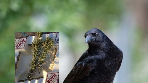 Crows Leave Creative Present for US Man After He Feeds Them for Two Years