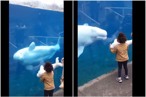 Watch: Beluga Whale's Priceless Reaction to Toy Whale in Girl's Hand is Going Viral