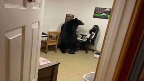 In Canada's Alberta, Black Bear Breaks Window, Enters House, Scratches Walls