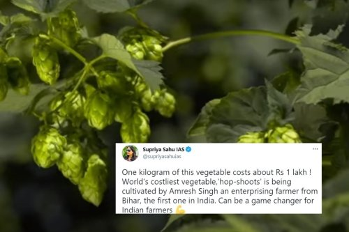 Bihar Farmer Grows 'Hop Shoots' That Sell for Rs 85K a Kilo, IAS Officer Calls it 'Game Changer'