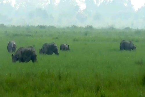 Tooting Their Horns: Incredible Video Shows 20 Kaziranga Rhinos 'Chilling' in Lockdown