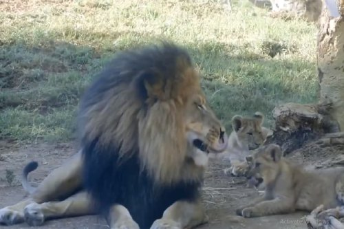 Watch: Lion Cub Annoying Its Dad in Viral Video is Reminding Us of The Perfect 'Mufasa and Simba' Moment