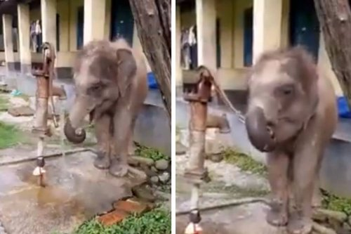 Watch: Adorable Video Shows Baby Jumbo Using Trunk to Operate Hand Pump to Drink Water
