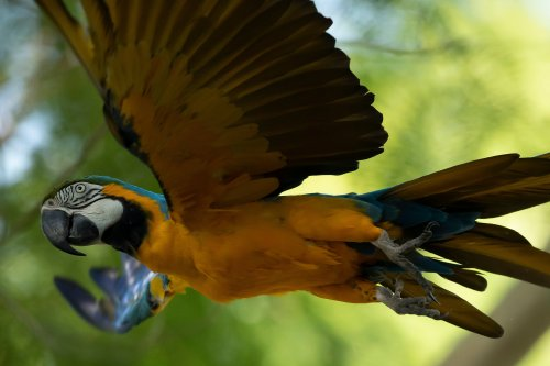Last wild macaw in Rio searches for love at the city's zoo