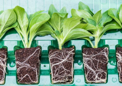 No time to sow seeds? Take a shortcut with plug plants