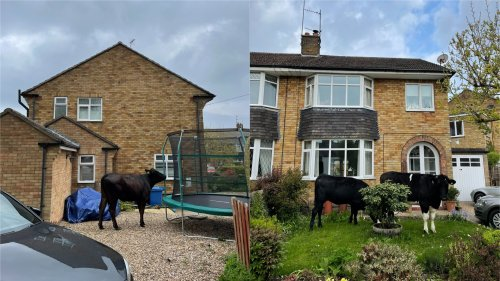 Cattle chaos as seven wandering bullocks get lost in Yorkshire town