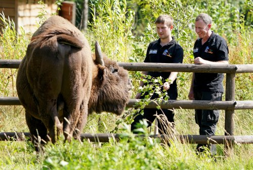 UK's first ever bison rangers chosen from over 1,000 applications worldwide