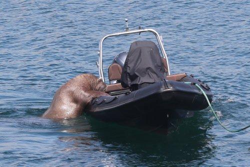 Look at Wally the Walrus climbing aboard a boat in Irish seaside harbour