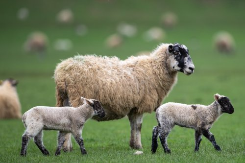 US move to lift decades-old ban on British lamb delights UK farmers