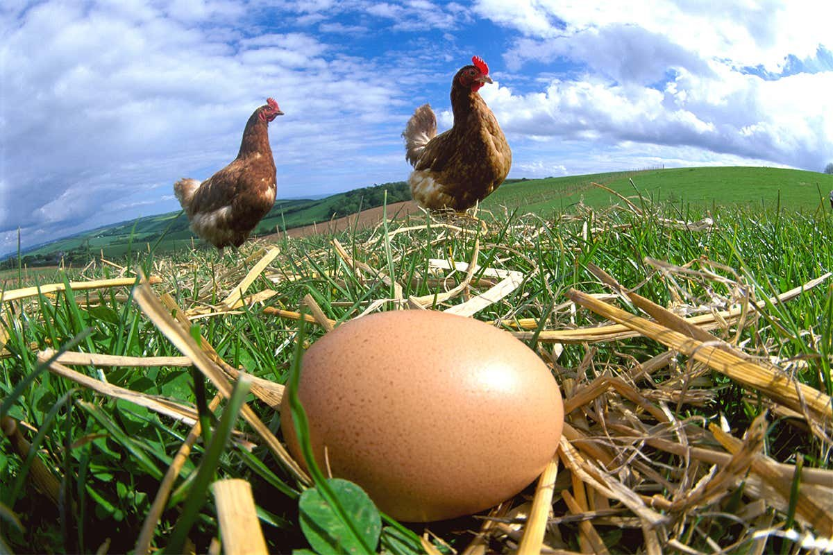 Which came first, the chicken or the egg? - cover