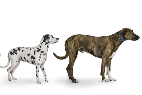 Why dogs could hold the secret to longer, healthier human lives
