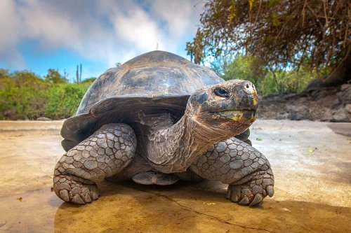 Galapagos tortoises use their self-destructing cells to avoid cancer